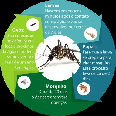 ciclo de vida do Aedes aegypti