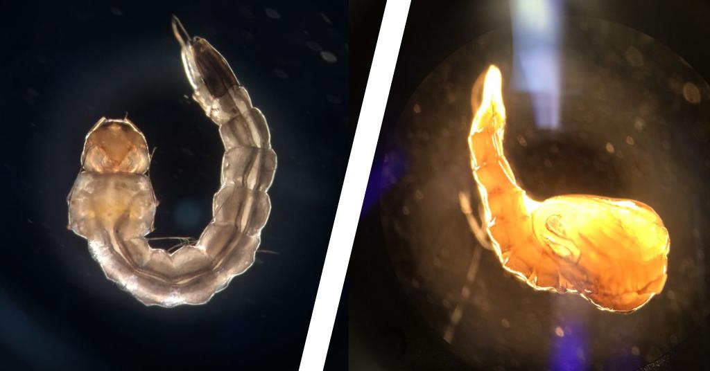comparativo entre larva e pupa Aedes aegypti